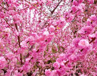 Пекин весной — 50 оттенков розового