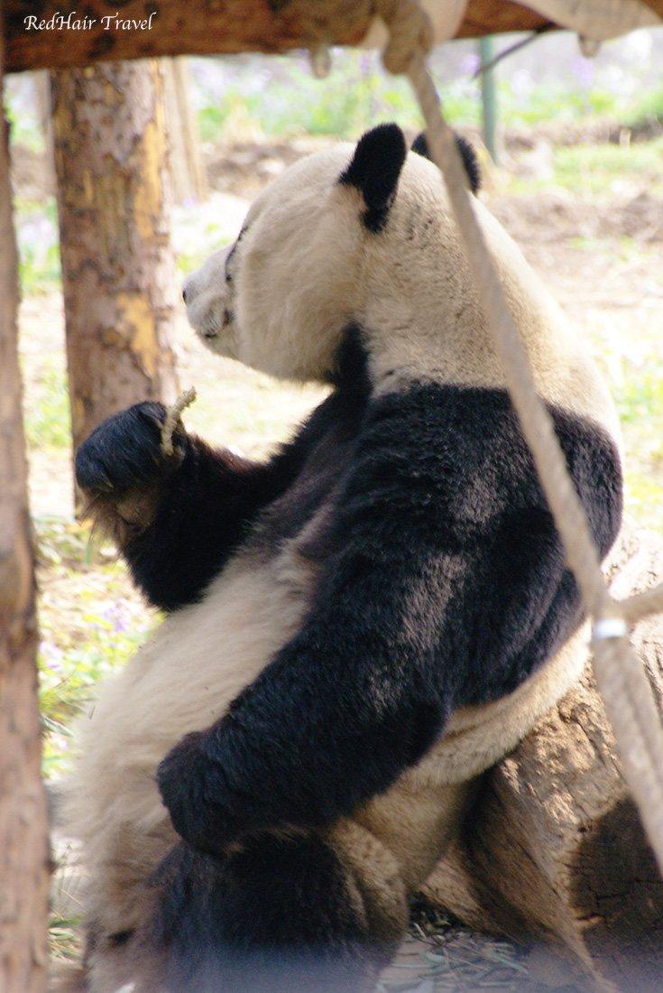 Панда, Пекин, зоопарк
