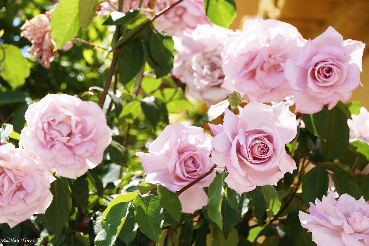 Гуадикс, розы