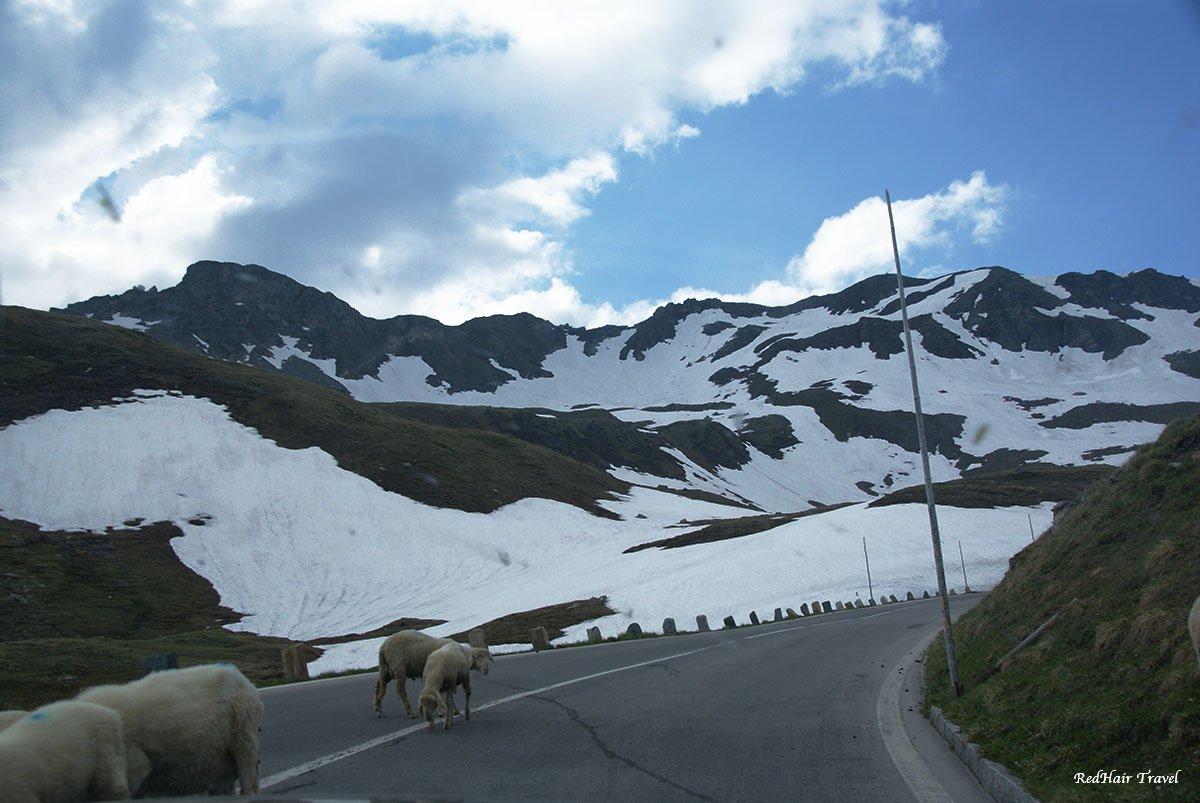 Овцы на дороге Гроссглокнер