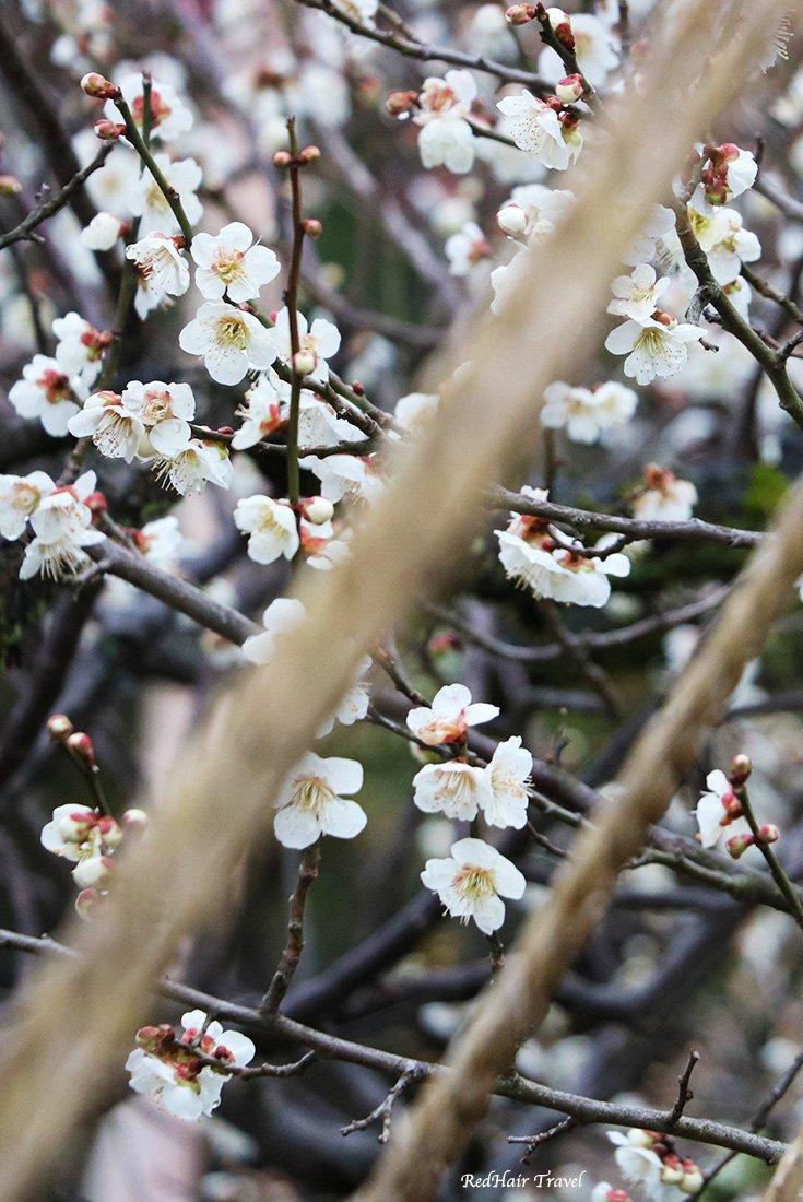 Kenroku-en, cherry blossom, Kanazawa