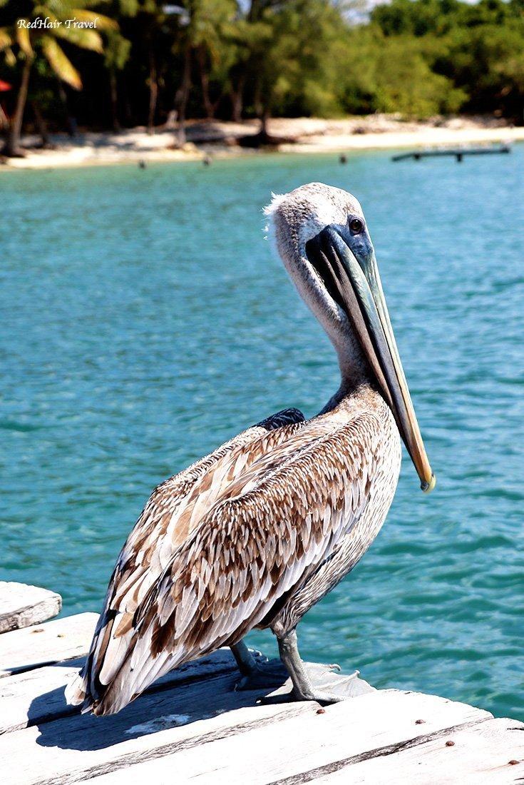 Пеликан, Остров Женщин, Исла Мухерес, Мексика