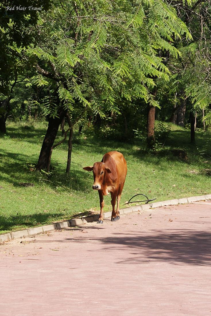 Корова, Шри Ланка
