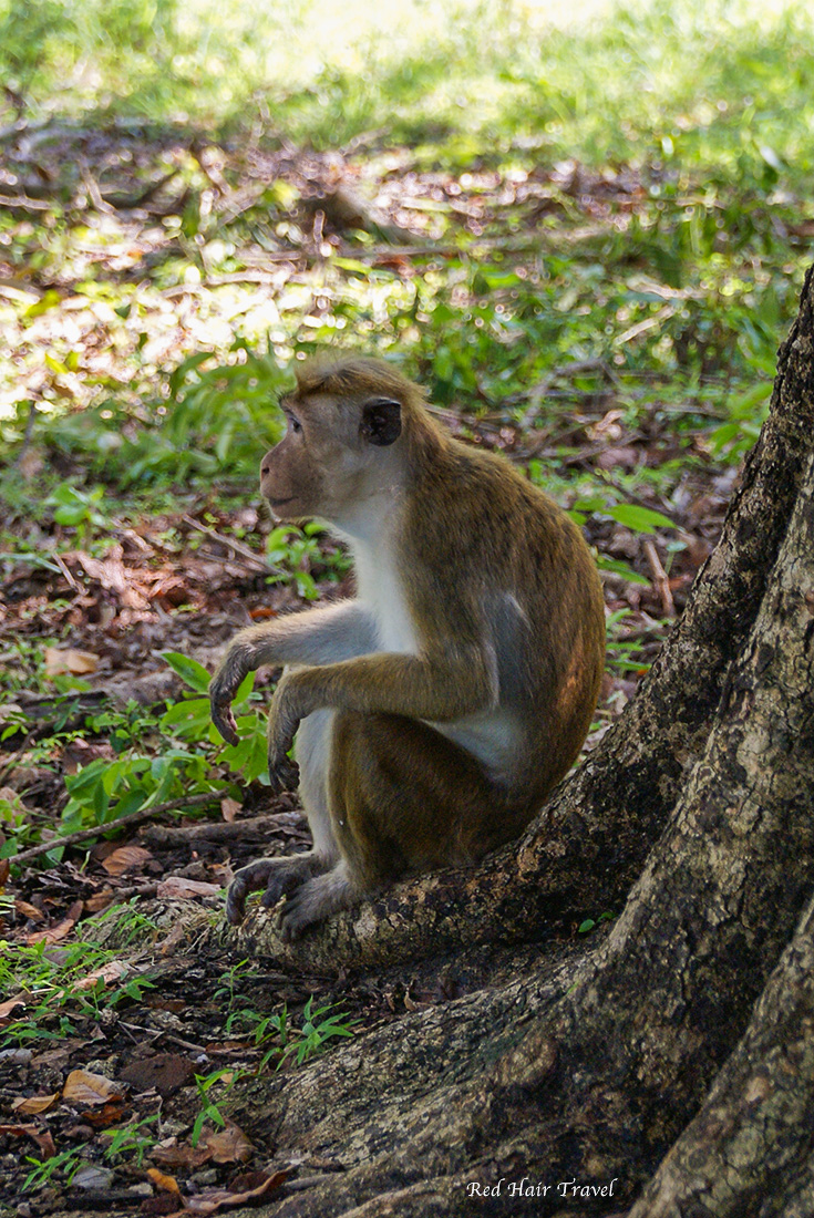 Обезьяна, Шри Ланка