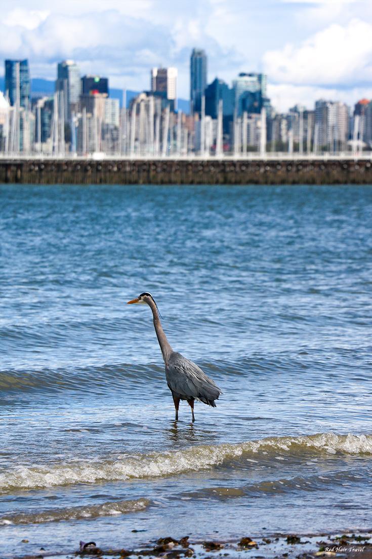 пляж Джерико, Ванкувер, цапля