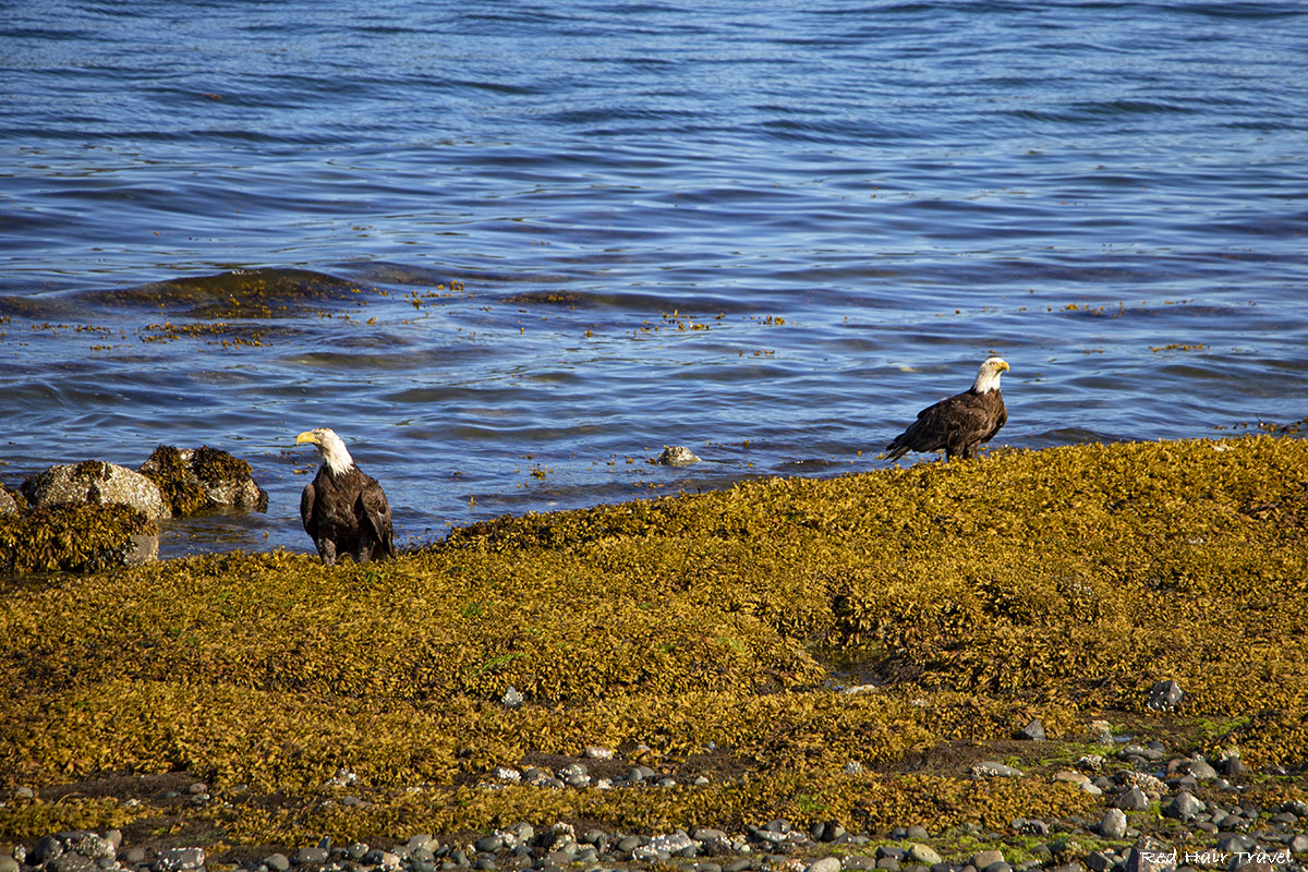 bald eagle, port Hardy